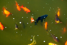 Golden Fishes In The Pond Back...