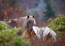 Wild Ponies Run Free In Virgin...