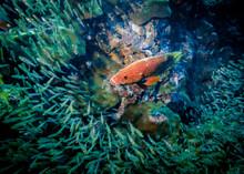 Coral Hind Fish Driving Away A...