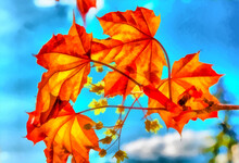 Watercolor. Spring. Bright Red Leaves Of Canadian Maple Against The Blue Spring Sky. Flowers And Leaves Close-up. Digital Painting - Illustration