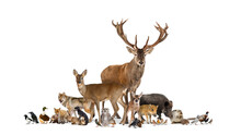 Large Group Of Many European Fauna, Animals, Red Deer, Red Fox, Bird, Rodent, Isolated