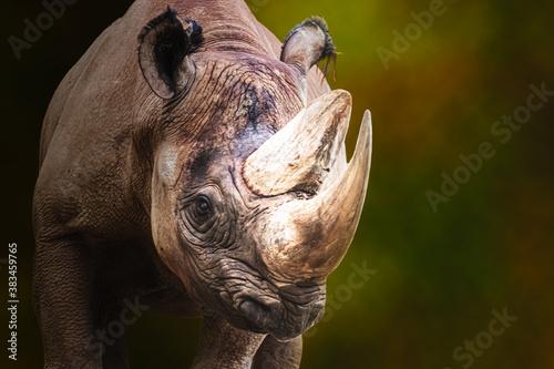 Fotomural a male black rhino