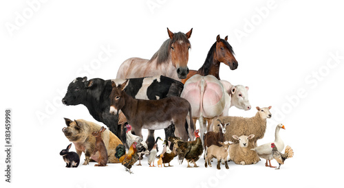 Fototapeta Group of many farm animals standing together obraz