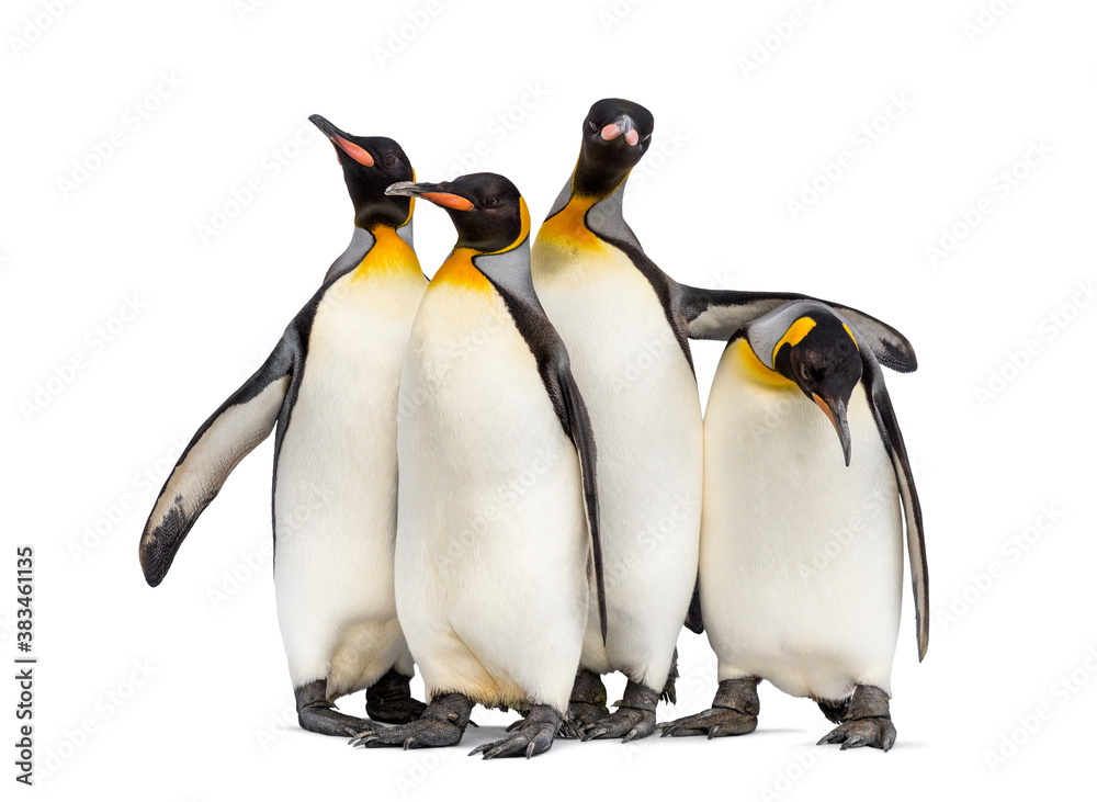 Fototapeta Colony of king penguins together, isolated on white