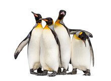 Colony Of King Penguins Togeth...