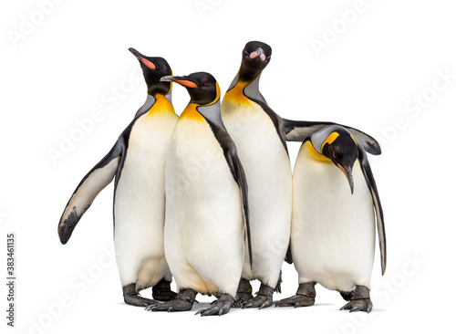 Fotografie, Obraz Colony of king penguins together, isolated on white