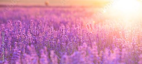 Fototapeta Blooming violet lavender field on sunset sky. obraz