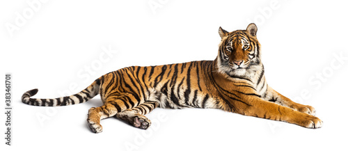 Fotografiet Tiger lying down isolated on white