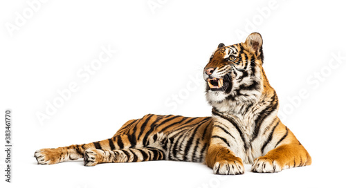 Leinwand Poster Tiger lying down showing its teeth, isolated on white