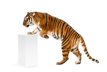 Tiger Getting Up A White Box, Isolated On White