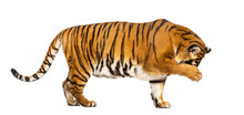 Side View, Profile Of A Tiger ...