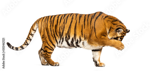 Side view, profile of a Tiger hiding his head behind his paw, isolated on white