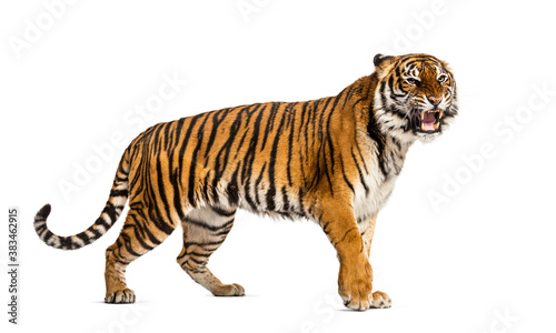 WalkingTiger showing its tooth and looking aggressive, isolated