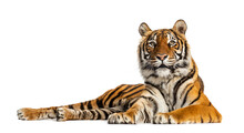 Tiger Lying Down Isolated On W...