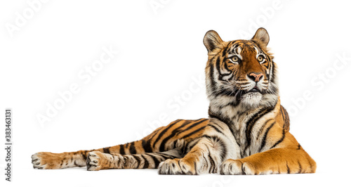 Tiger lying down isolated on white