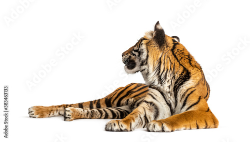 Tiger lying down looking back, isolated on white