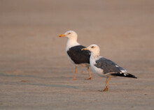 A Pair Of Lesser Black-backed ...