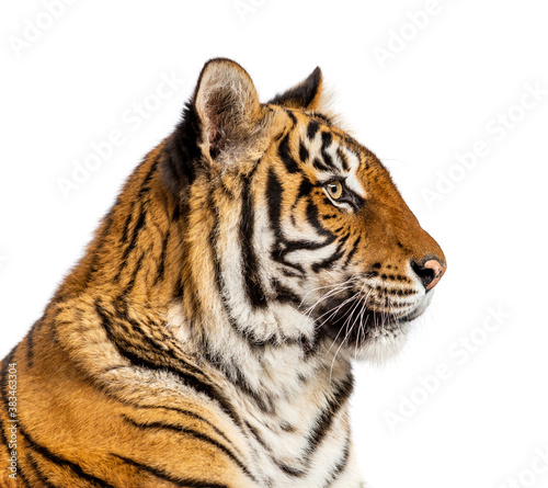 Side view of a head of a Tiger, isolated