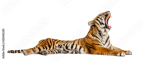 Fotomural Roaring Tiger lying down isolated on white