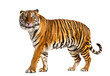 Standing Tiger licking itself, looking away