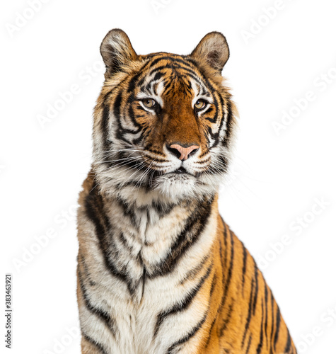 Proud Tiger's head portrait, close-up, isolated on white