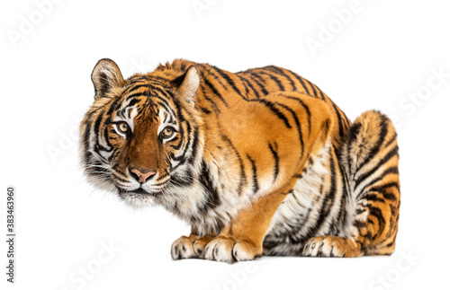 Tiger questioning, isolated on white