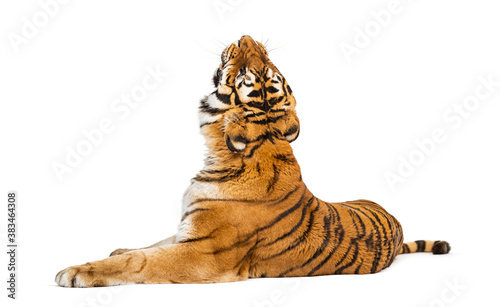 back view of a Tiger lying down and looking up