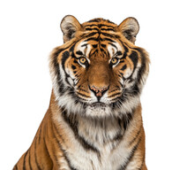 Tiger's Head Portrait, Close-up, Looking At The Camera Isolated On White
