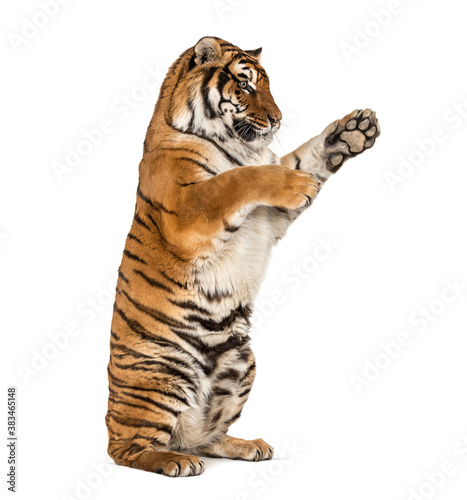Tablou Canvas Tiger on hind legs, pawing, isolated on white