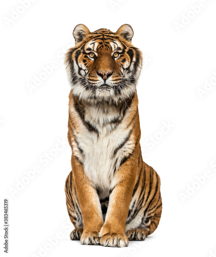 Tiger sitting looking at the camera, isolated on white Fototapete
