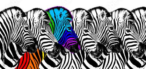 Fotografie, Obraz Usual & rainbow color zebra white background isolated, individuality concept, st