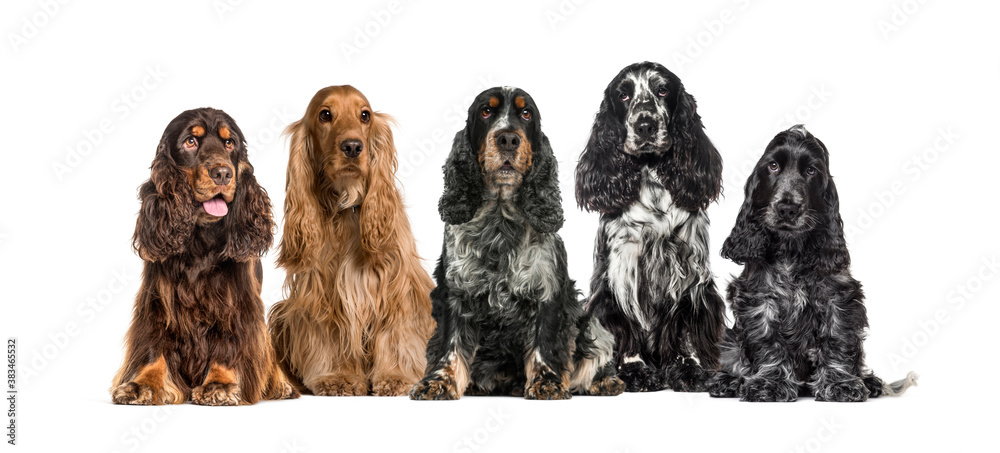 Fototapeta Group of English Cocker Spaniel in a row, isolated on white