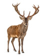 Leinwandbild Motiv Red deer stag in front of a white background, remasterized