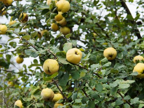 (Cydonia oblonga) Cognassier ou pommier de Cydon à fruits jaune en forme de pomm Fototapete