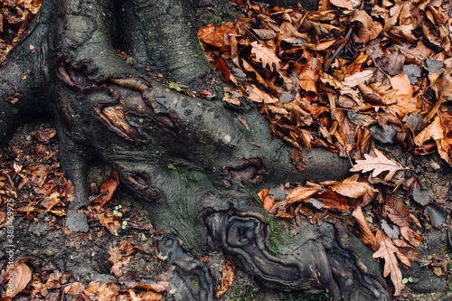 Obraz tree roots and fallen leaves on forest ground, autumn nature background - fototapety do salonu