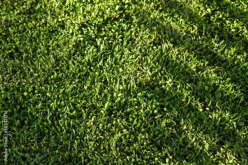 Fototapeta Textura de hierba césped verde natural