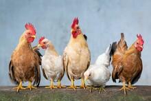 Chicken Rooster Hen Chicks Eas...