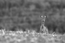 Deer In The Meadow. Deer In Th...