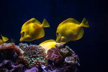 Aquarium Sea Yellow Angel Fish...