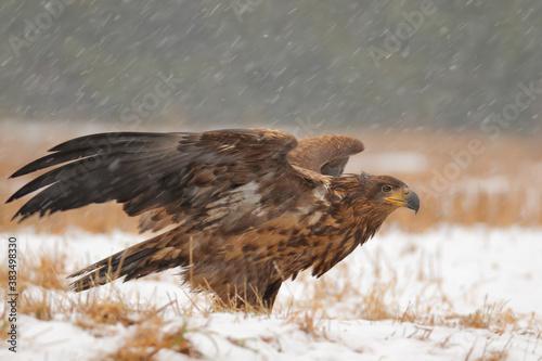Fotomural White-tailed eagle. Bird of prey in winter. Haliaeetus albicilla