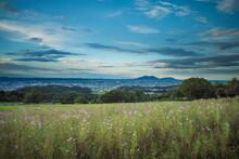夕暮れ時のコスモス畑