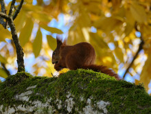 Squirrel With Nut In Autumnal ...