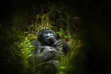 Portrait Of A Mountain Gorilla...