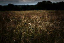 Wheat Field In Winchester High...