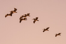 California Brown Pelicans Fly At Dusk