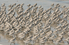 A Flock Of Common Sandpipers O...