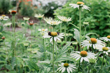 Bees Pollinating Giant Daisy Flowers In Garden