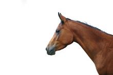 Arabian Horse With White Backg...