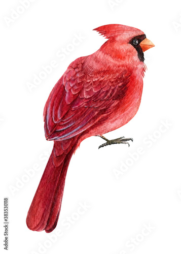 Red catdinal, bird on white isolated background Fototapet
