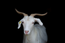 Portrait Of Cashmere Goat Standing Indoors